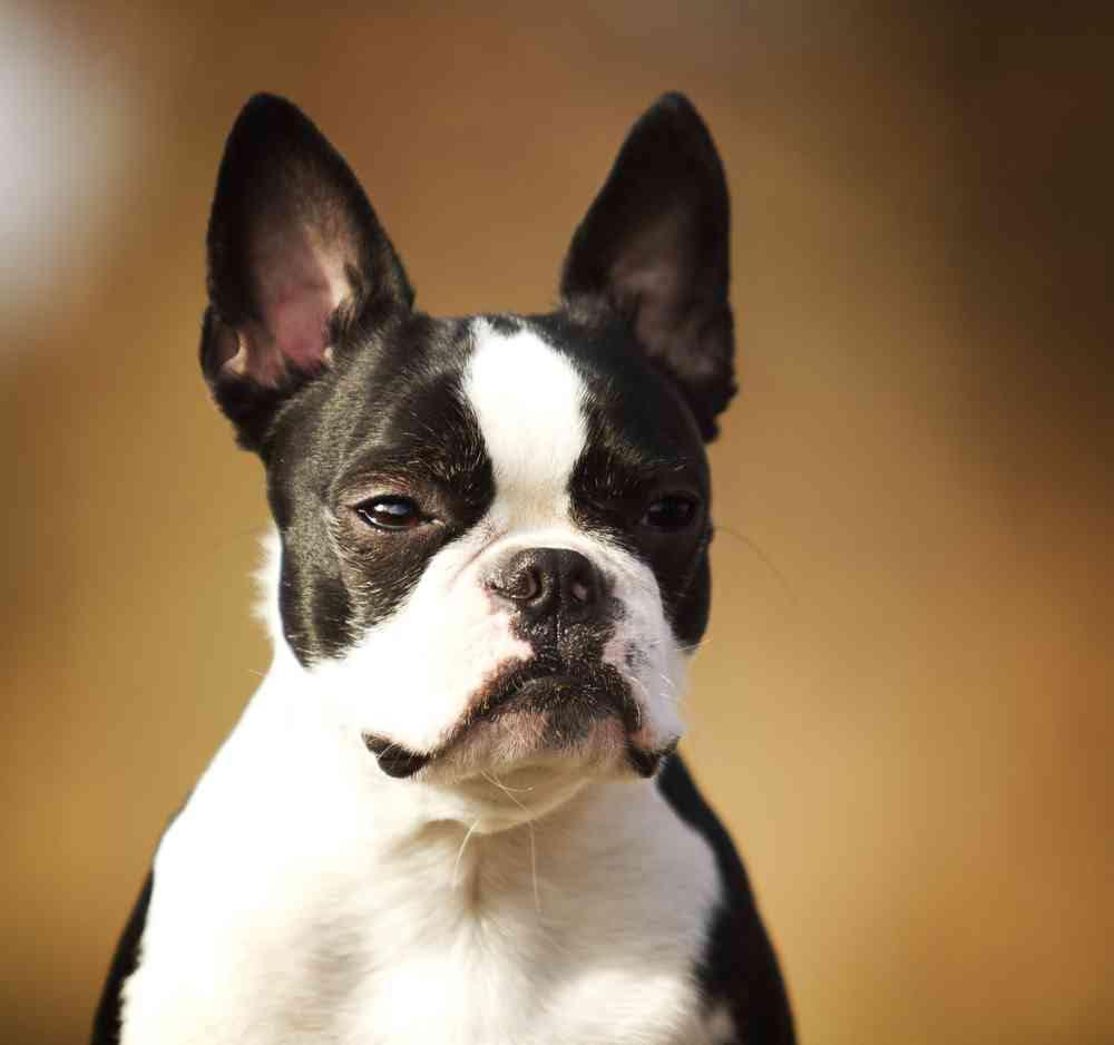 Boston Terrier Pitbull Mix Size