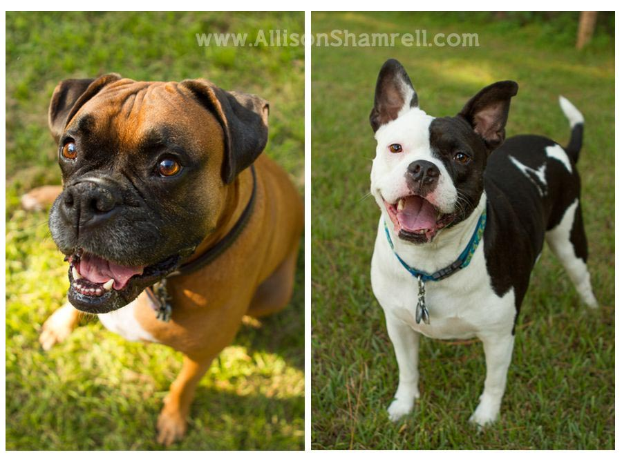 Boston Terrier Pitbull Mix Temperament Dog Breed Information