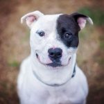 Boston Terrier Pitbull Mixes