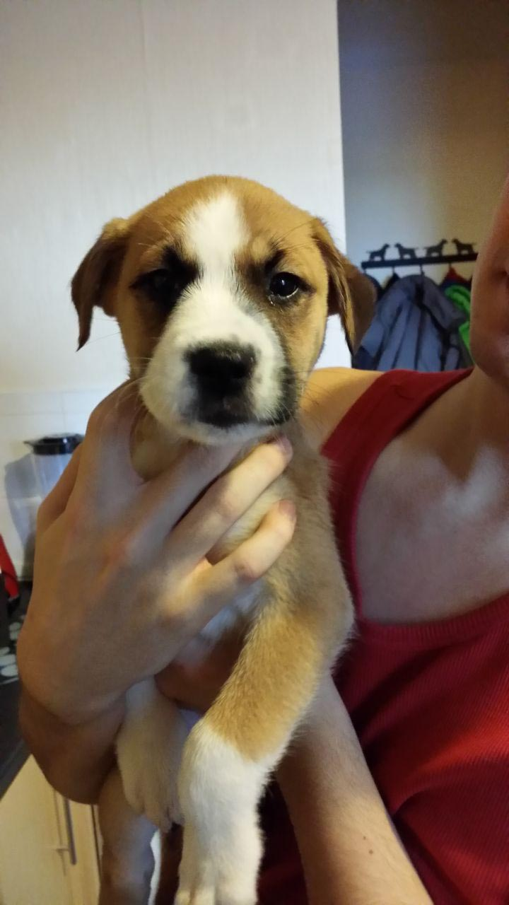 Boxer and Husky Mix Puppies