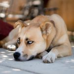 Boxer Husky Mix Breed