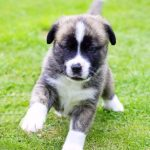 Boxer Husky Mix Full Grown