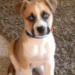 Boxer Husky Mix Puppies