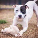 Brindle Boston Terrier Pitbull Mix