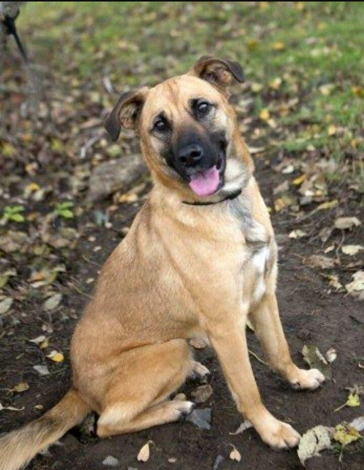 Bull Mastiff German Shepherd Mix