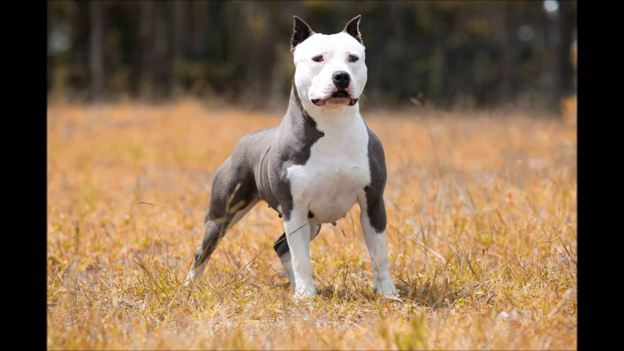 Canil American Pitbull Terrier Blue Nose