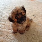 Caring for 8 Week Old Shih Tzu