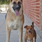Chihuahua and German Shepherd
