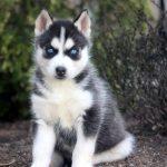 Chihuahua and Husky Mix Breed