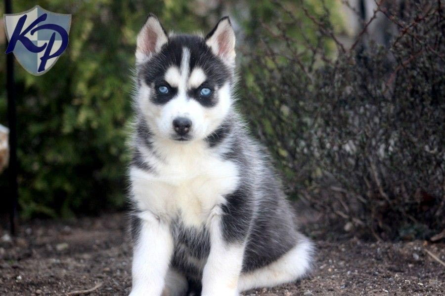 Chihuahua And Husky Mix Breed Dog Breed Information