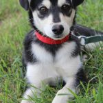 Chihuahua and Husky Mix Puppies