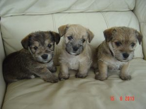 Chihuahua Cross Jack Russell Cross Yorkshire Terrier