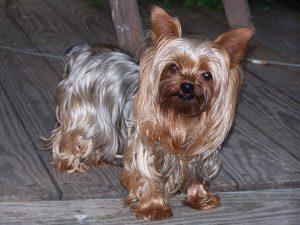 Chihuahua Cross Yorkshire Terrier Lifespan