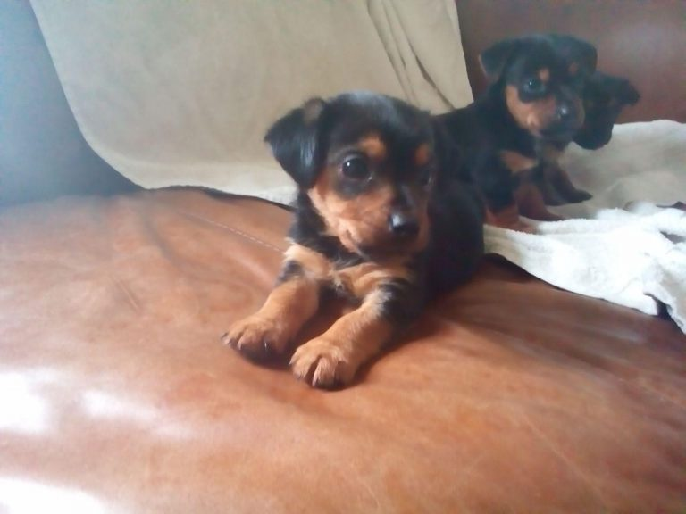 Chihuahua Cross Yorkshire Terrier Puppies