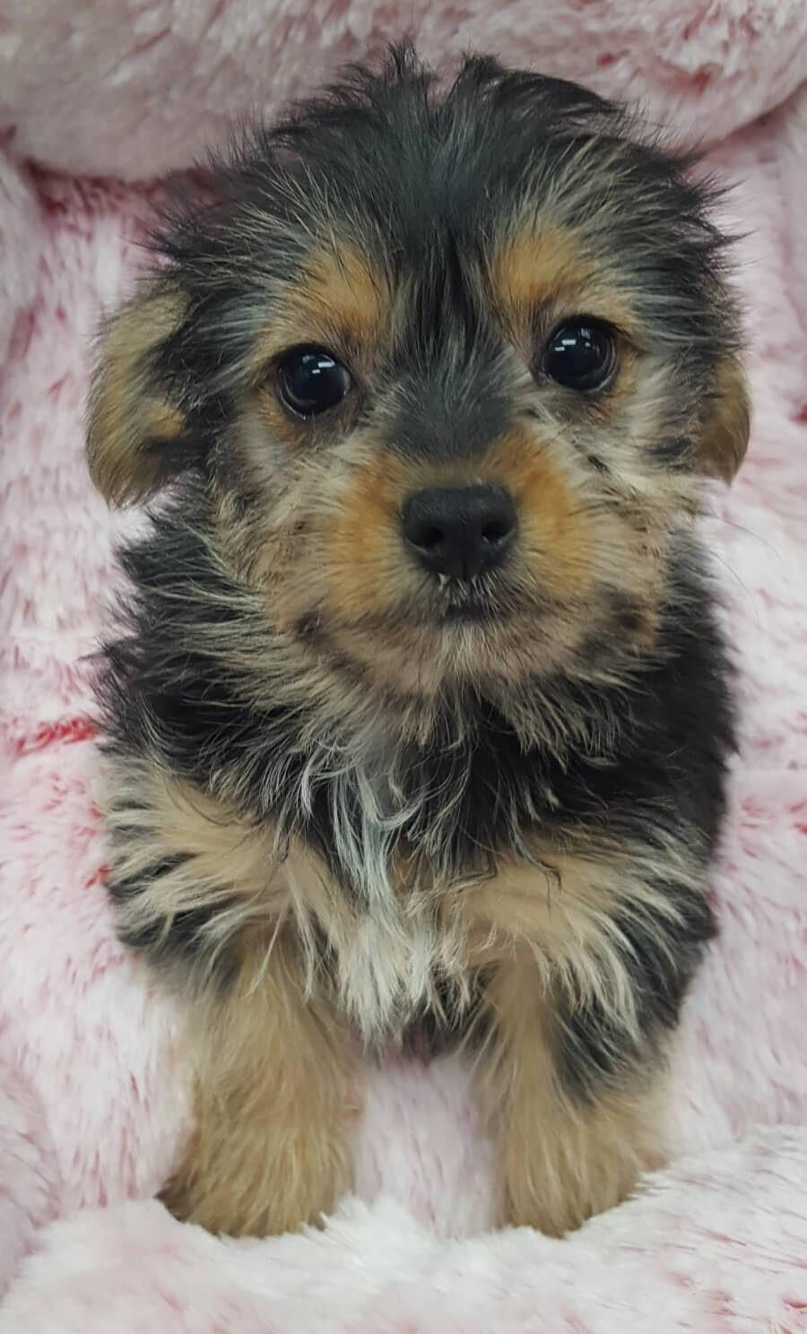 Chihuahua Crossed with Yorkshire Terrier