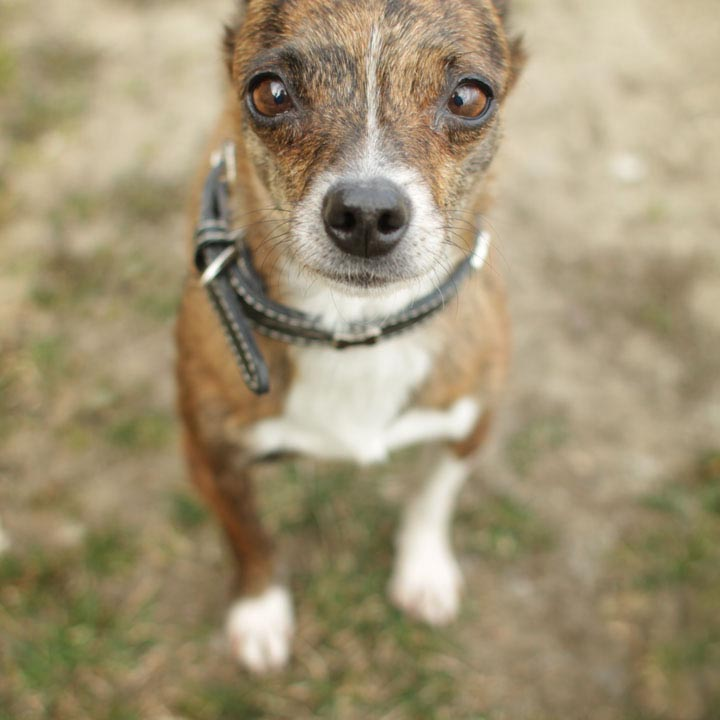 Chihuahua Dachshund Husky Mix