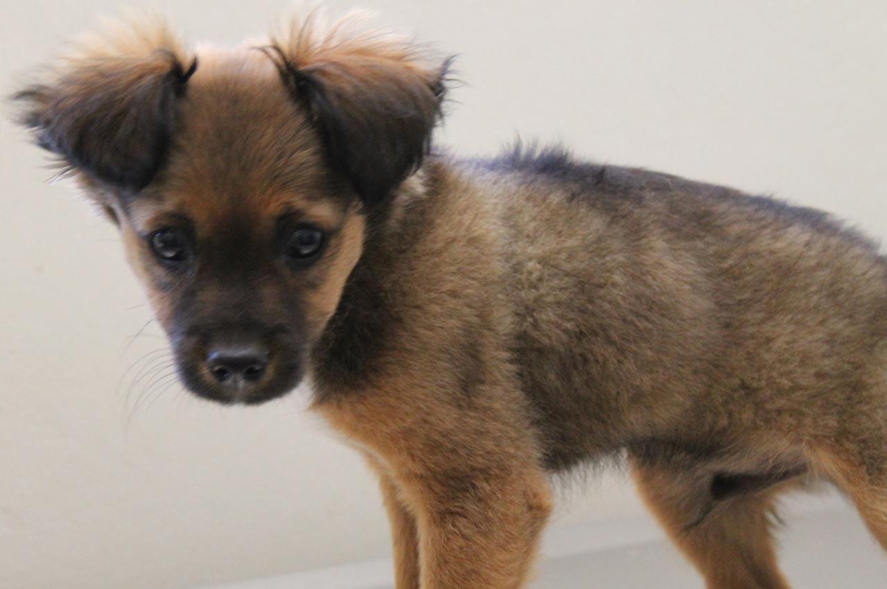 Chihuahua German Shepherd Mix Dog