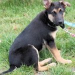 Chihuahua German Shepherd Mix Full Grown