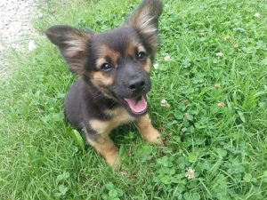Chihuahua German Shepherd Mix Puppies
