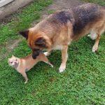 German Shepherd Husky Chihuahua Mix | Dog Breed Information