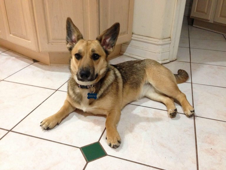 Chihuahua Terrier German Shepherd Mix