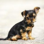 Chihuahua Yorkshire Terrier Mischling