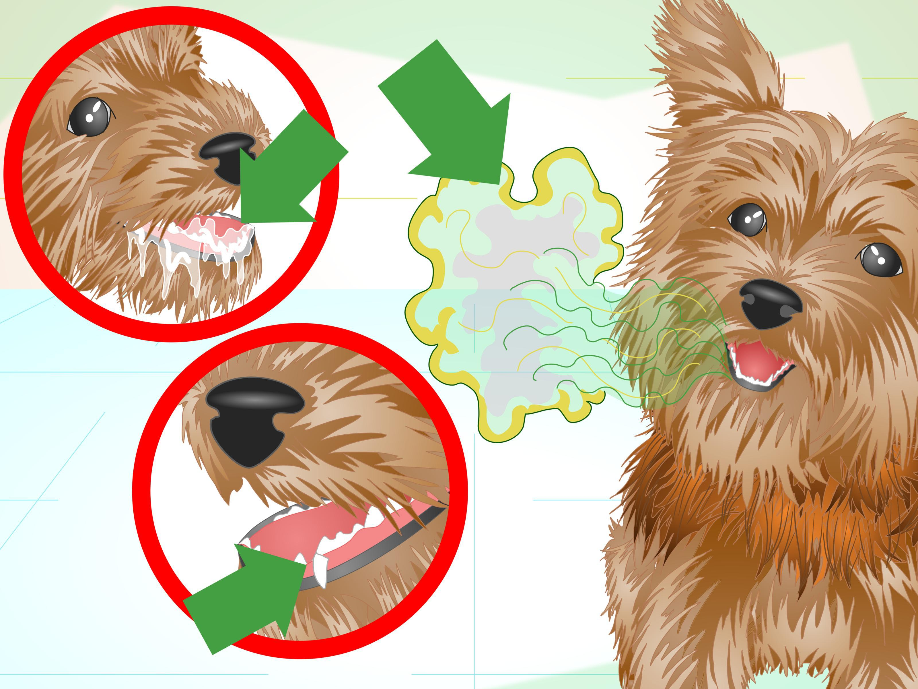 Cleaning Yorkshire Terrier Teeth