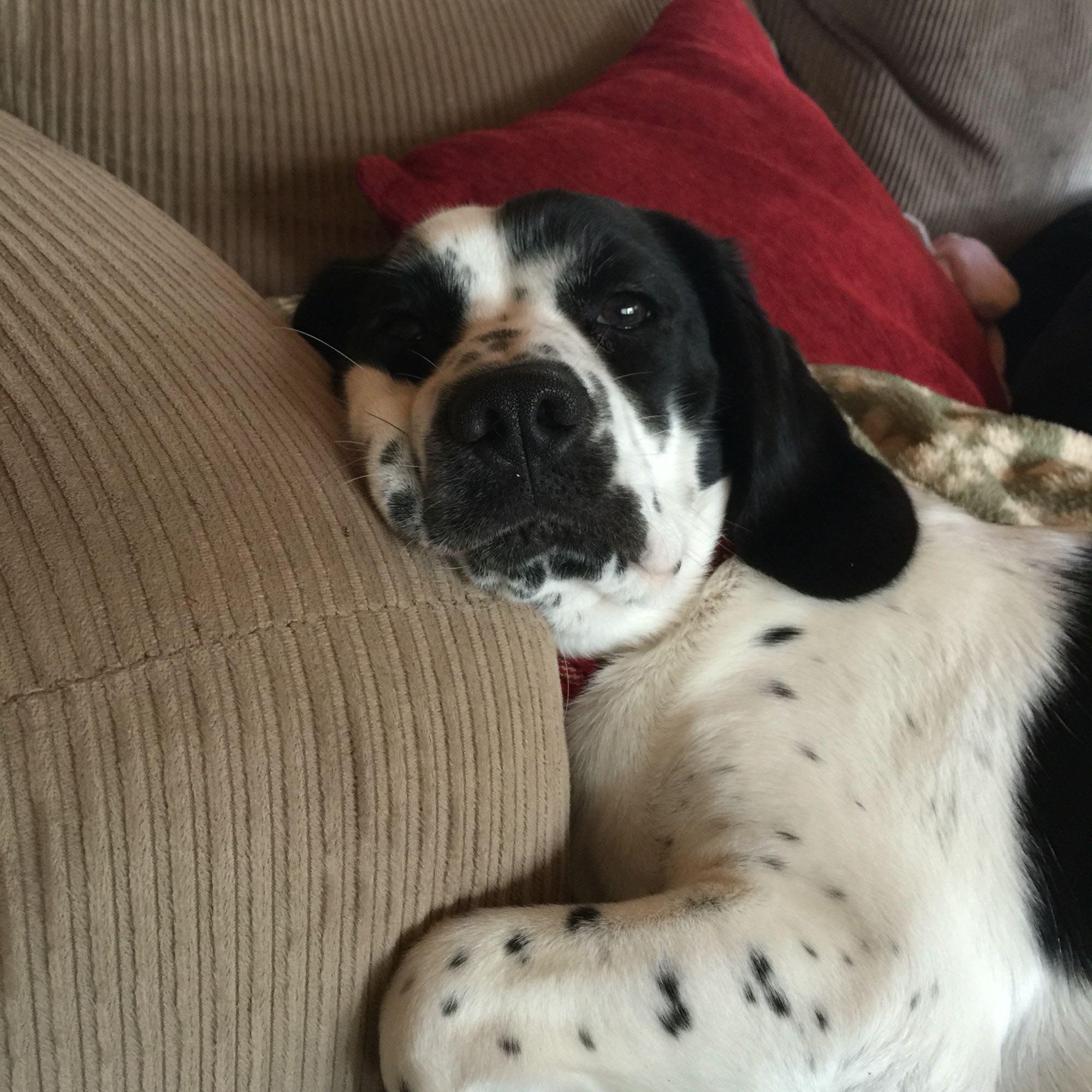Cocker Spaniel Beagle Mix Temperament