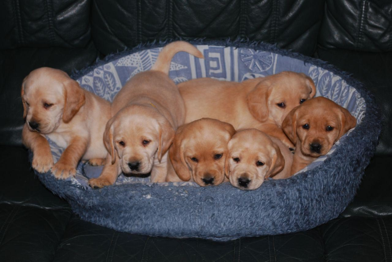 Cocker Spaniel Cross Labrador Puppies