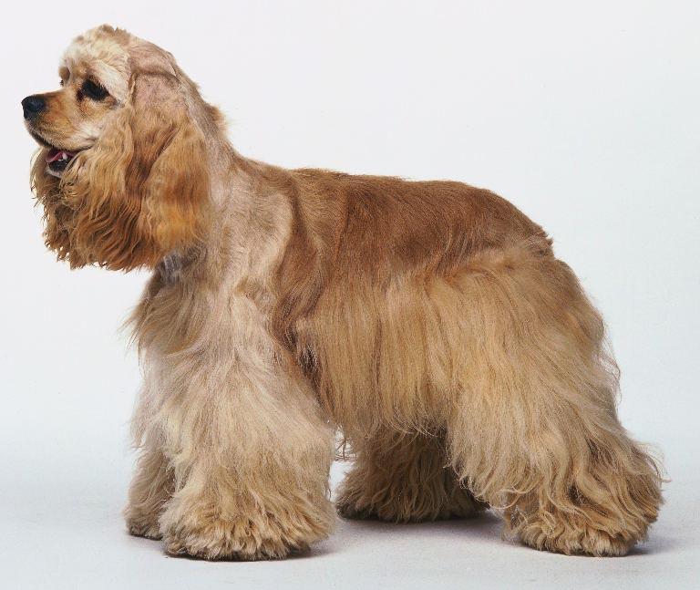 Cocker Spaniel Dog Pregnancy