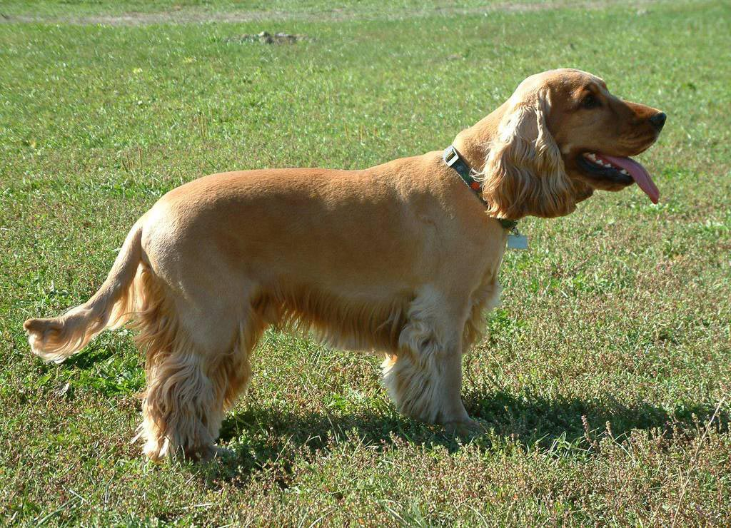Cocker Spaniel Natural Tail