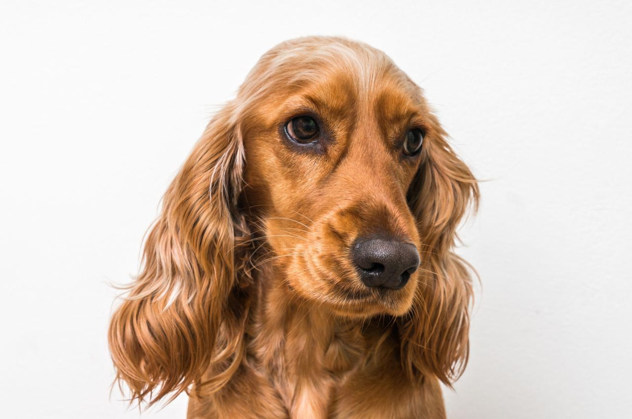 Cocker Spaniel Pregnancy Calendar