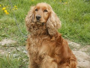Cocker Spaniel Pregnancy Information