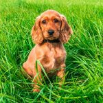 Cocker Spaniel Pregnancy Length