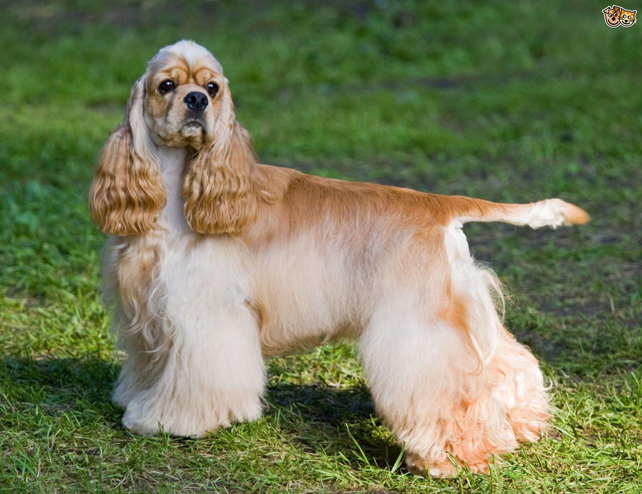Cocker Spaniel Pregnancy Stages