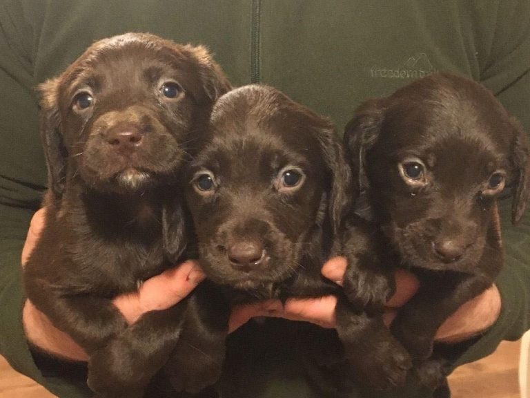 Cocker Spaniel x Labrador Puppies