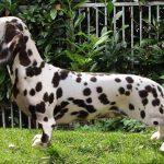 Dachshund and Dalmatian Mix