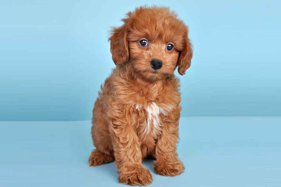 Dachshund and Poodle Mix Breed