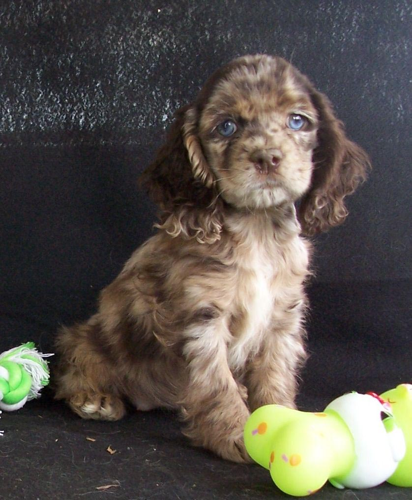 Dachshund and Poodle Mix Puppies