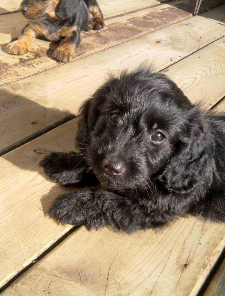 Dachshund and Toy Poodle Mix