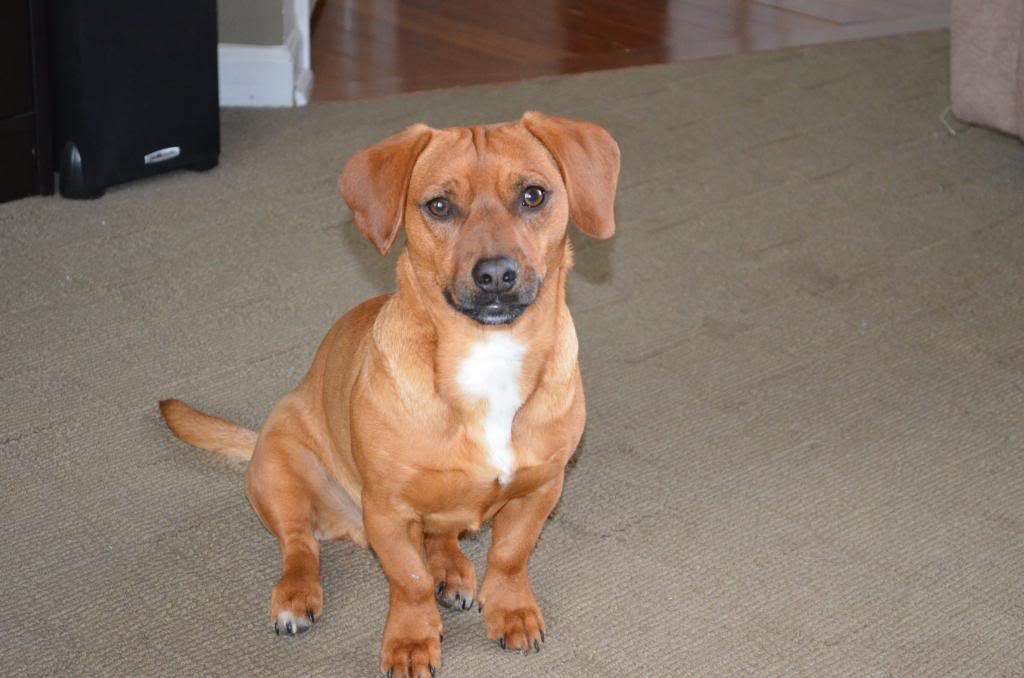 Dachshund Beagle Pug Mix