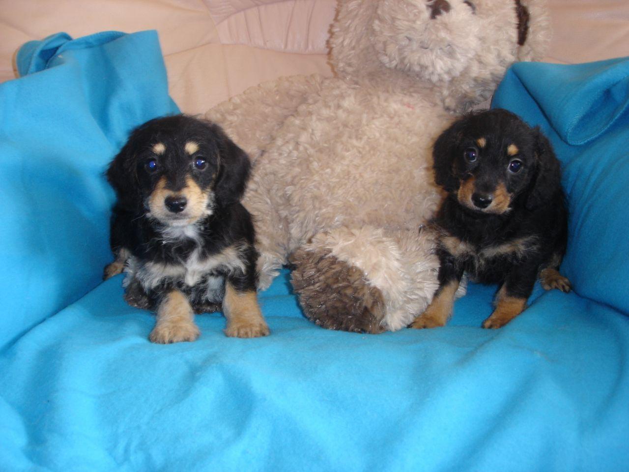Dachshund Cross Poodle