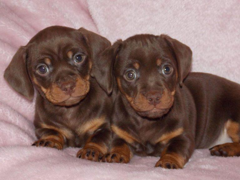 Dachshund Cross Pug Puppies