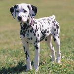 Dachshund Dalmatian Mix Breeders