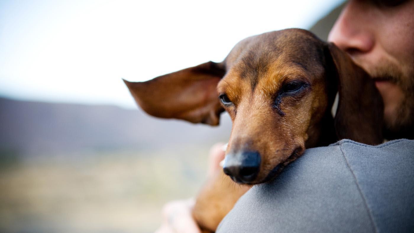 Dachshund Dog Pregnancy Symptoms