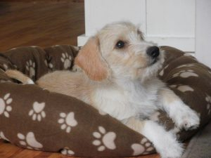 Dachshund Maltese Poodle Mix