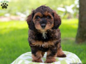 Dachshund Poodle Mix Breeders