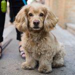 Dachshund Poodle Mix for Adoption