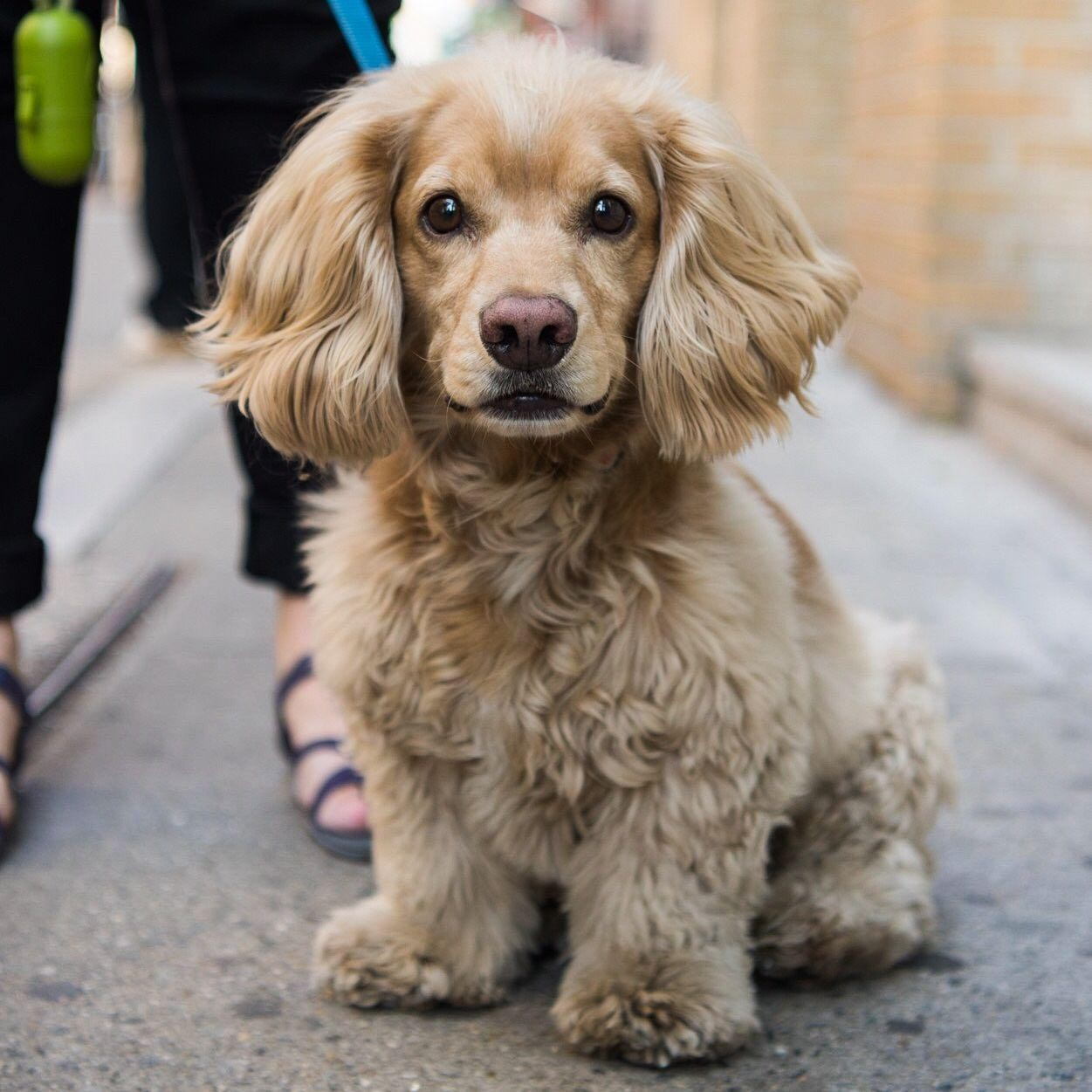 Dachshund Poodle Mix for Adoption