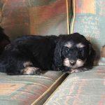 Dachshund Poodle Mix Temperament
